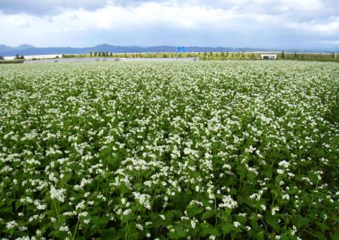 0913_そば畑.JPG