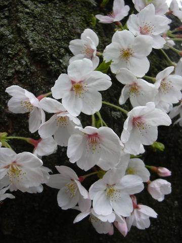 0404_桜.jpg