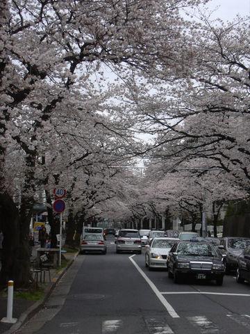 0404_桜並木.jpg