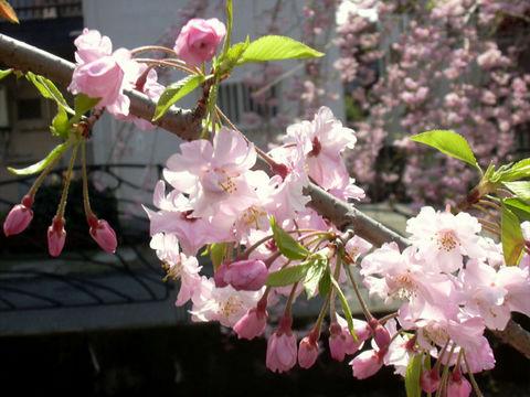 0406_桜.jpg